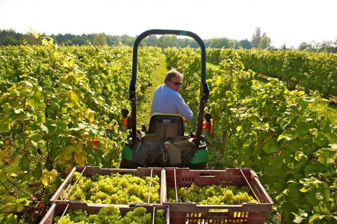 English Vineyard Harvest - Dedham Vale