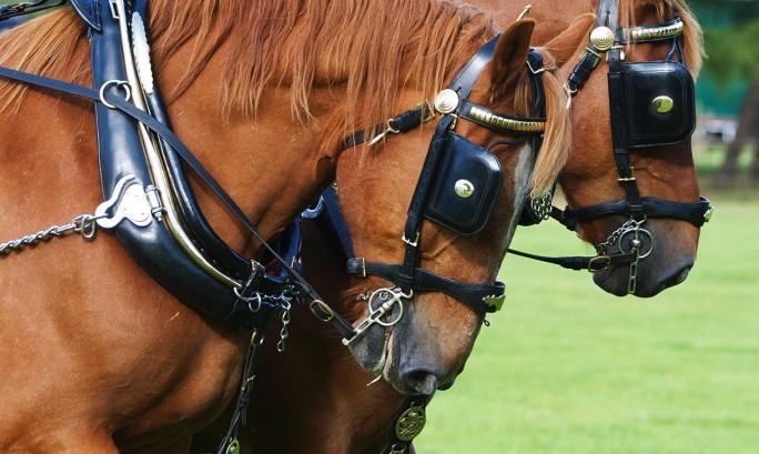 Suffolk Punch Horses